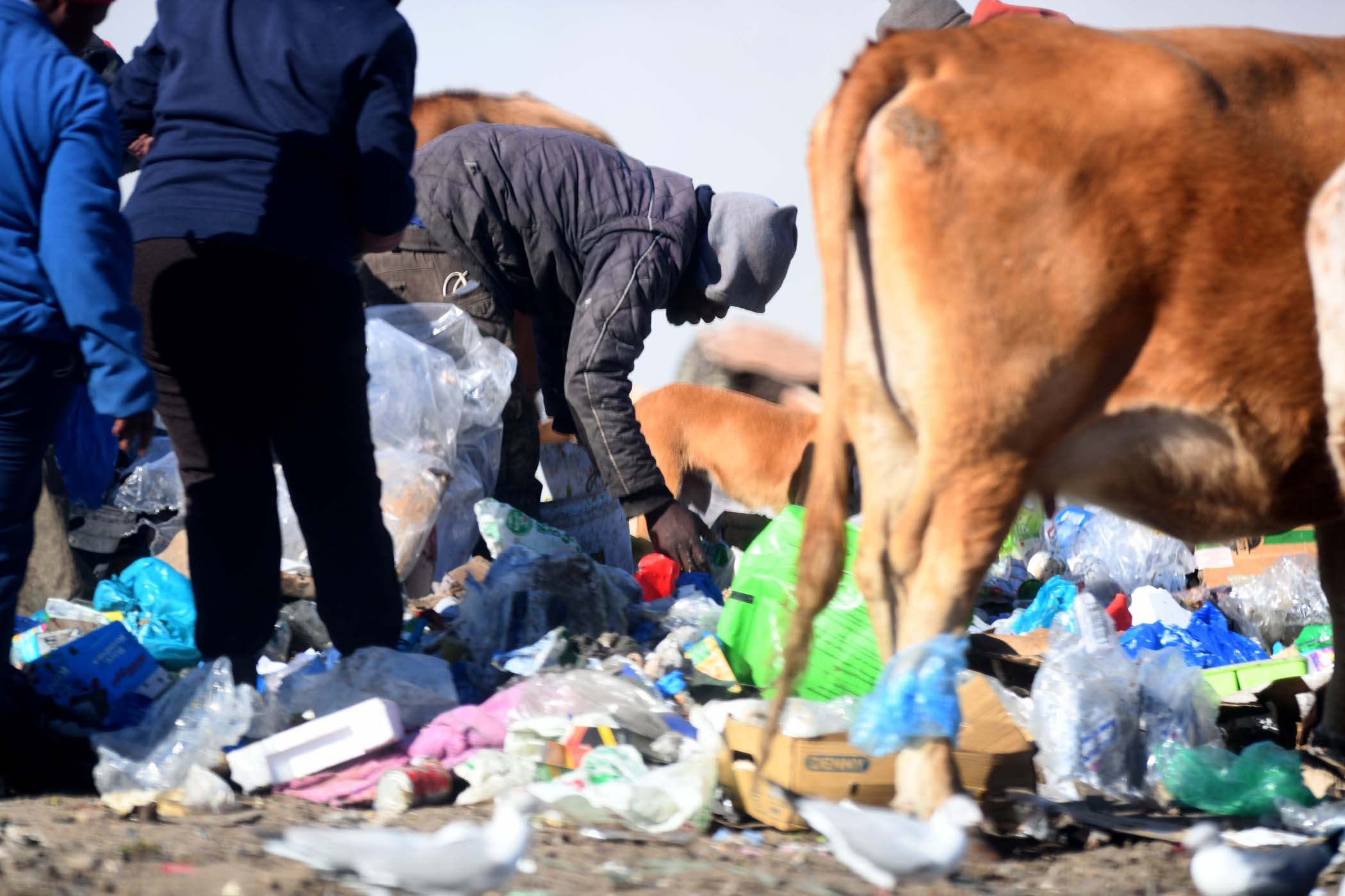 Dogs, cattle, seagulls and waste pickers take their fill from discarded waste. Photo Black Star/Spotlight